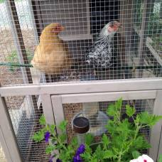 The girls in their coop